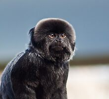 They Say Im a Little Monkey (Goeldis Monkey) by Blitzer