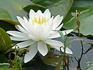 White Water Lily (Nymphaeaceae) by MotherNature