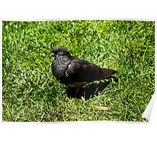 Park Pigeon (In the Grass) Poster