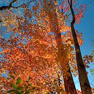 Tall Tree Autumn by Joe Jennelle