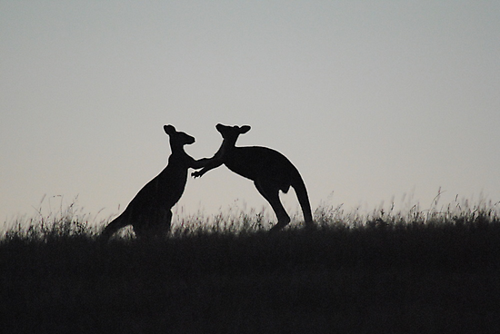 Kangaroos, Boxing for the Lady - Whittlesea, Victoria by Heather Samsa