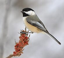 Chickadee on Sumac by Heather Pickard