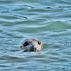 Grey Seal by Tim Collier