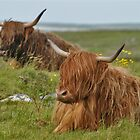 Highland Cattle, Scotland by Tim Collier