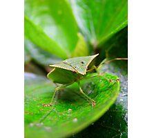 Loxa Flavicollis (Stink Bug) Photographic Print