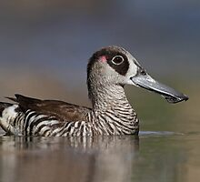 Pink-eared Duck - Oil Tree Lagoon by Simon Bennett