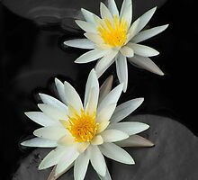 Water Lilies by Jennifer Weitzel