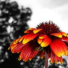 Blanket Flower by Jennifer Weitzel