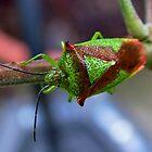 Leaf Bug : Hemiptera by AnnDixon