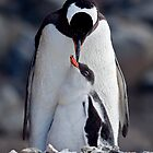 Lullaby (Gentoo Penguin & Chick, Port Lockroy, Antarctica) by Krys Bailey