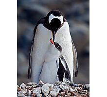 Lullaby (Gentoo Penguin & Chick, Port Lockroy, Antarctica) Photographic Print