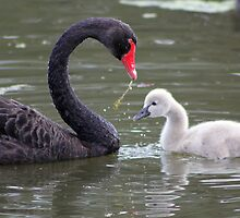 Teaching the cygnet what is good to eat. by Rookwood Studio ©