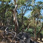 Eucalypts at Mt Alexander by Lozzar Landscape