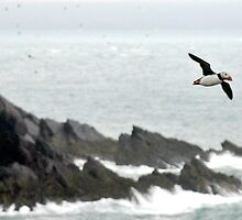 Puffin Over Heavy Seas, Wales by Tim Collier