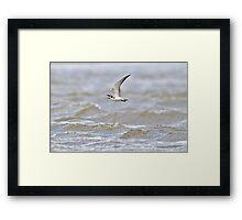 Black Tern Over Rough Water Framed Print