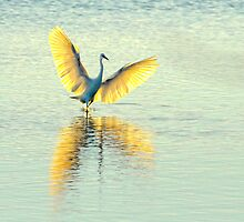 Little Egret, Evening Light by Tim Collier