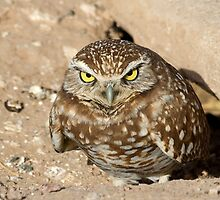 021911 Burrowing Owl by Marvin Collins