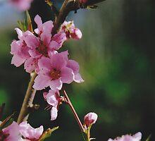 Peach Blossoms #2 by Edward A. Lentz