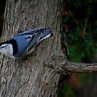 Nuthatch on the Cedar by Diane Blastorah