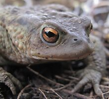 Common Toad by Tim Collier