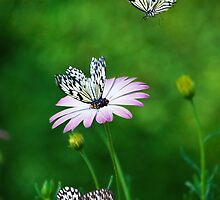 African Daisy and Butterflies by pixelmemoirs