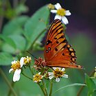 Orange butterfly on Spanish Needles by Ben Waggoner