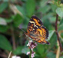 Phaon Crescent butterfly by Ben Waggoner