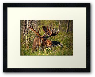 Moose In Meadow by Bill Maynard