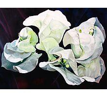 """Bugambilia"" - oil painting of white bougainvillea blossoms Photographic Print"