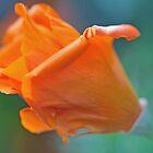 A Single Poppy by jayneeldred