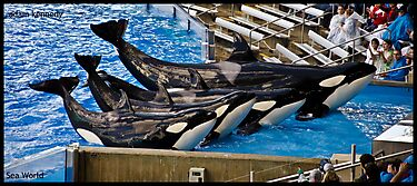 Killer Whales @ Sea World by Adam Kennedy