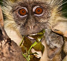 Green monkey baby by Shaun Whiteman