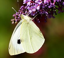 Butterfly of Beautiful White by NeilG