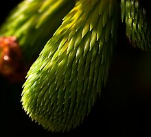 Pine Needles by Mark Denham