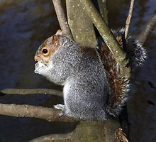 Grey Squirrell by Mel Harrison