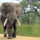 The ELEPHANT (Loxodonta Africana) by Elizabeth Kendall