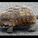 Tortoise strolling along by Elizabeth Kendall
