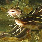 Swansea Catfish by Matt-Dowse