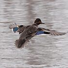 Green Winged Teal duck by Dennis Cheeseman