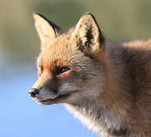 Red Fox - 1851 by DutchLumix