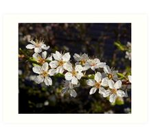 crystal clear cherry blossoms Art Print