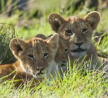 Lion cubs by Yves Roumazeilles