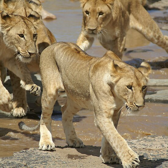 Lions crossing the river by Yves Roumazeilles