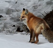 Red Fox #1 by Ken McElroy