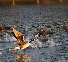 Geese taking flight 1 by jae1235