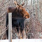 I shot a wild moose today by Kerri Gallagher