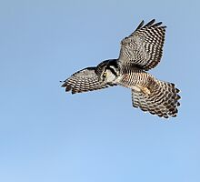 Hovering / Northern Hawk Owl by Gary Fairhead