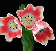 Three Lovely Tulips by RebeccaBlackman
