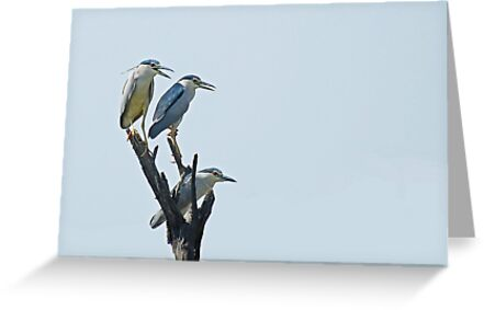 Black crowned night herons by umang