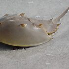 Horseshoe Crab by Karen Checca